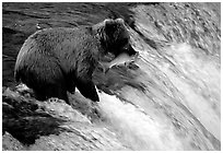 Alaskan Brown bear with catch  at Brooks falls. Katmai National Park ( black and white)