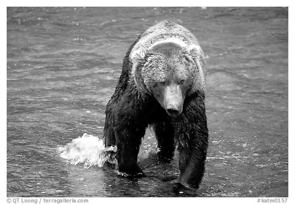 Alaskan Brown bear in the Brooks river. Katmai National Park (black and white)
