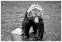 Alaskan Brown bear in the Brooks river. Katmai National Park ( black and white)