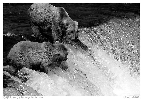 Two Brown bears trying to catch leaping salmon at Brooks falls. Katmai National Park (black and white)