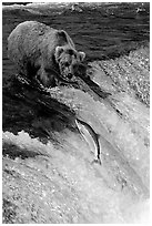 Brown bear watching a salmon jumping out of catching range at Brooks falls. Katmai National Park ( black and white)