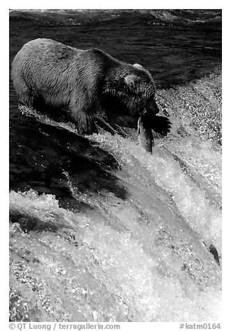 Alaskan Brown bear with caught salmon at Brooks falls. Katmai National Park (black and white)