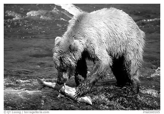 Brown bear (scientific name: ursus arctos) eating salmon at Brooks falls. Katmai National Park (black and white)