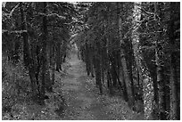 Narrow trail in dark forest, Brooks Camp. Katmai National Park ( black and white)