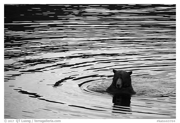 Bear and ripples, Brooks River. Katmai National Park (black and white)