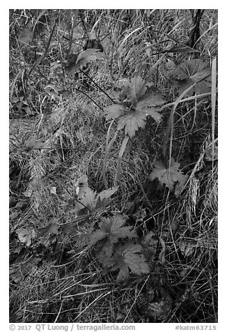 Wildflowers and leaves in autumn color. Katmai National Park (black and white)