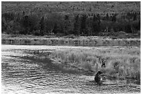 Bears in autumn grasses, Brooks River. Katmai National Park ( black and white)