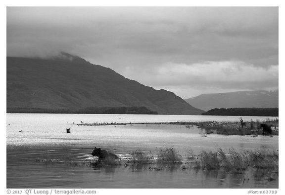 Bears, Naknek Lake, sunset. Katmai National Park (black and white)