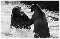 Brown bears fighting, Brooks River. Katmai National Park ( black and white)