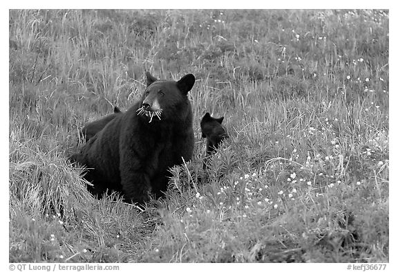 Black bear with cubs. Kenai Fjords National Park (black and white)