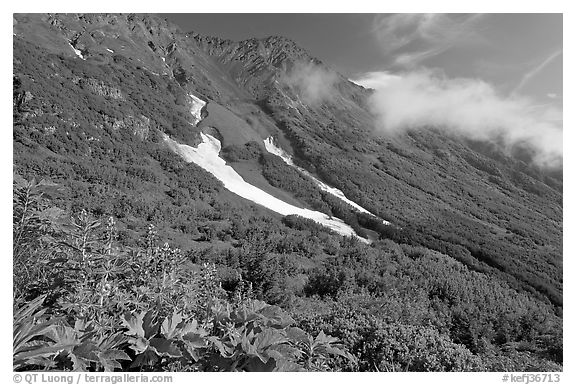 Lupine, neve, and verdant mountain slopes. Kenai Fjords National Park (black and white)
