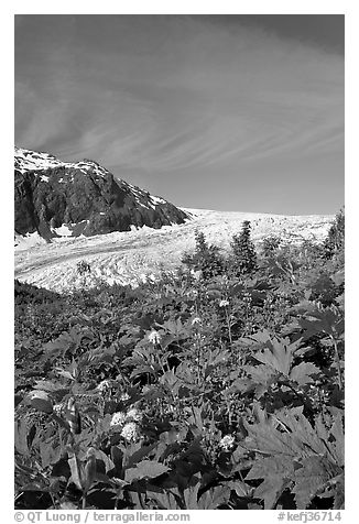 Wildflowers and Exit Glacier. Kenai Fjords National Park (black and white)