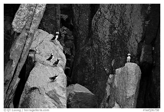 Puffins on cliff. Kenai Fjords National Park (black and white)