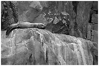 Stellar sea lion sleeping on rock. Kenai Fjords National Park ( black and white)