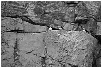 Puffins on rock wall. Kenai Fjords National Park ( black and white)