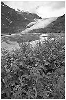 Dwarf fireweed and Exit Glacier. Kenai Fjords National Park ( black and white)