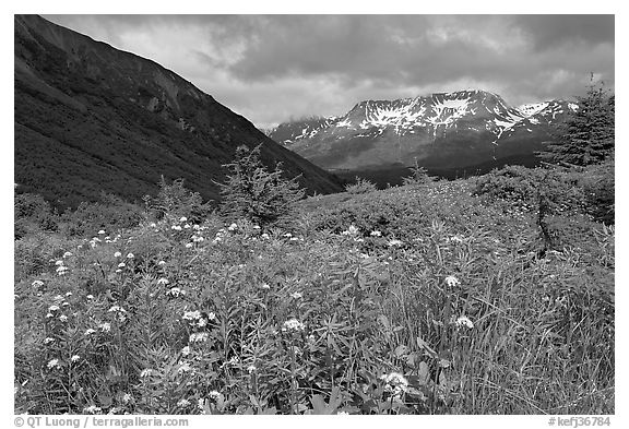 Wildflowers in Marmot Meadows and Resurection Mountains. Kenai Fjords National Park (black and white)