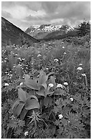 Marmot Meadows and Resurection Mountains. Kenai Fjords National Park, Alaska, USA. (black and white)