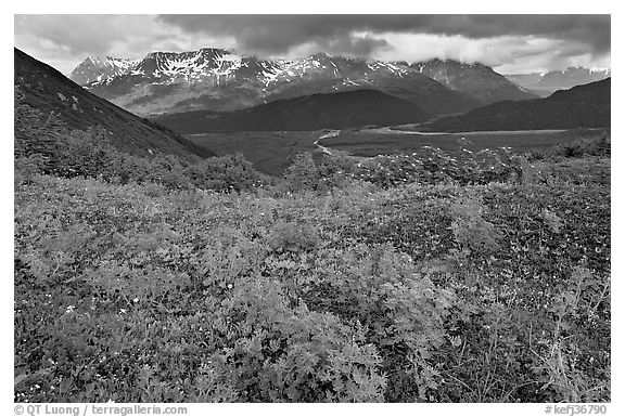Dwarf Lupine and cloudy Resurection Mountains. Kenai Fjords National Park (black and white)