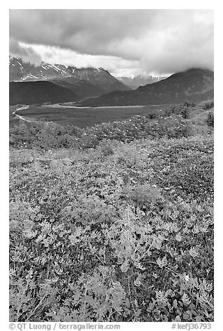 Dwarf Lupine in Marmot Meadows, and Resurection Mountains. Kenai Fjords National Park (black and white)