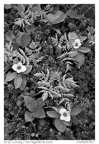 Close-up of alpine ferns and flowers, Marmot Meadows. Kenai Fjords National Park (black and white)