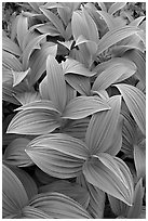 Close-up of leaves, Marmot Meadows. Kenai Fjords National Park, Alaska, USA. (black and white)