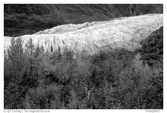 Trees and exit glacier, fall. Kenai Fjords National Park (black and white)