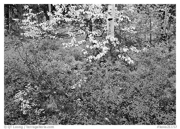 Red Berry leaves and yellow tree leaves in forest. Kobuk Valley National Park (black and white)