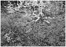 Red Berry leaves and yellow tree leaves in forest. Kobuk Valley National Park ( black and white)