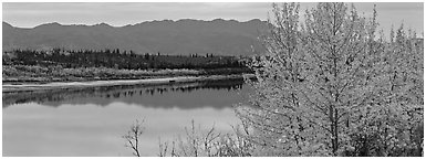 River scene with tree in fall foliage. Kobuk Valley National Park (Panoramic black and white)