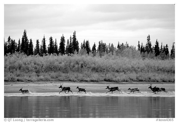 Caribou crossing the Kobuk River during their fall migration. Kobuk Valley National Park (black and white)