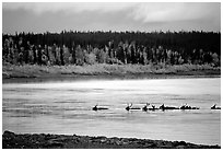 Caribou swimming across the Kobuk River during their fall migration. Kobuk Valley National Park, Alaska, USA. (black and white)