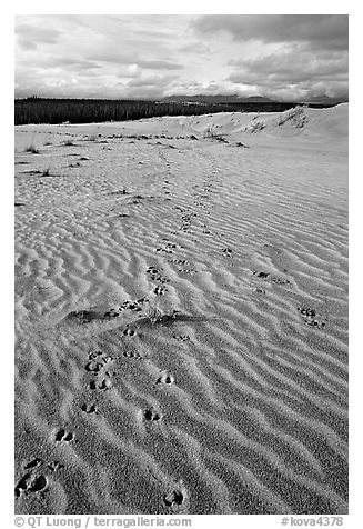 Caribou tracks and ripples in the Great Sand Dunes. Kobuk Valley National Park (black and white)