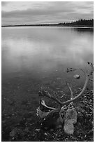 Dead caribou head on the river shore. Kobuk Valley National Park, Alaska, USA. (black and white)