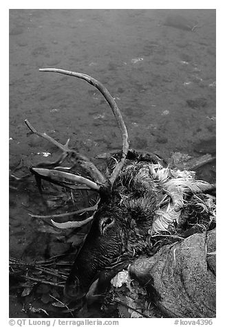 Dead caribou heads discarded by hunters. Kobuk Valley National Park (black and white)