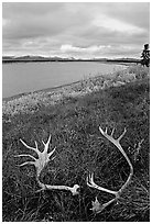 Caribou antlers, tundra, and river. Kobuk Valley National Park, Alaska, USA. (black and white)