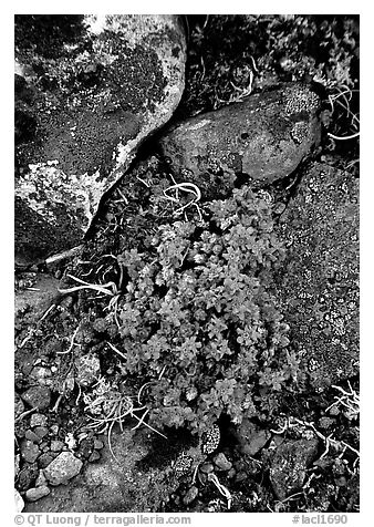 Forget-me-nots. Lake Clark National Park (black and white)
