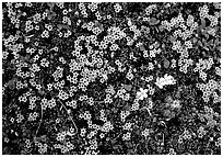 Tundra alpine wildflowers. Lake Clark National Park, Alaska, USA. (black and white)