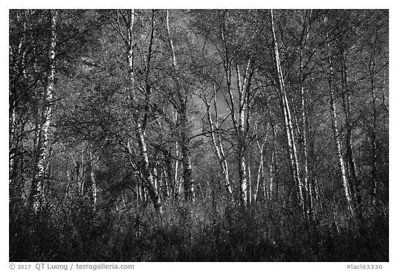 Autumn forest. Lake Clark National Park (black and white)