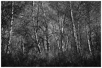 Autumn forest. Lake Clark National Park ( black and white)