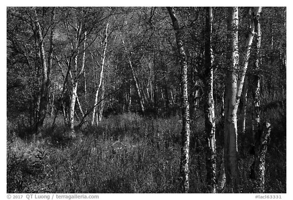 Northern forest in autumn. Lake Clark National Park (black and white)