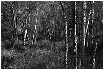 Northern forest in autumn. Lake Clark National Park ( black and white)