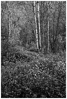 Trees and undergrowth with autumn foliage. Lake Clark National Park ( black and white)