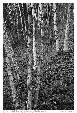 White birch and scarlet forest floor. Lake Clark National Park (black and white)