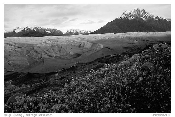 Wildflowers, Mt Donoho above Root glacier. Wrangell-St Elias National Park (black and white)