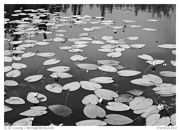 Water lillies with yellow flowers. Wrangell-St Elias National Park (black and white)