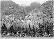 Mountain sloppes with aspens in different stages of autumn colors. Wrangell-St Elias National Park ( black and white)
