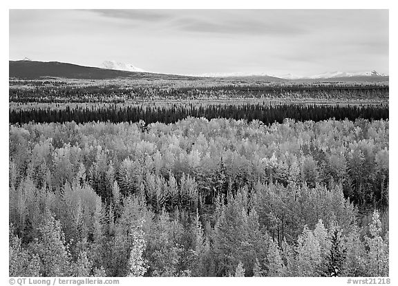 Flat valley with aspen trees in fall colors. Wrangell-St Elias National Park (black and white)