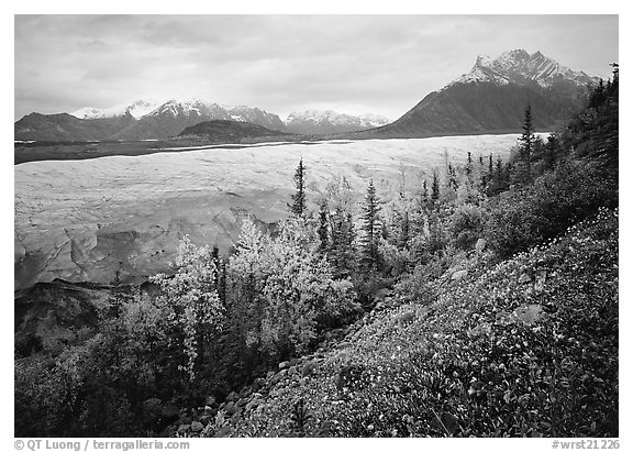 Late wildflowers, trees in autumn colors, and Root Glacier. Wrangell-St Elias National Park (black and white)