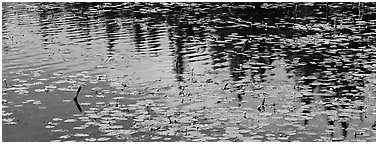 Water lillies and spruce reflections. Wrangell-St Elias National Park (Panoramic black and white)